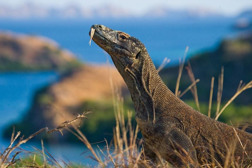 10. Vườn quốc gia Komodo (Indonesia): Như tên gọi, vườn quốc gia này ở Indonesia rất nổi tiếng với loài rồng Komodo hoang dã, kỳ dị. Đây cũng là điểm đến đầy quyến rũ với những ai yêu thiên nhiên. Bạn có thể khám phá quần đảo Lesser Sunda xinh đẹp ở đây với những bãi biển mộng mơ và các rạn san hô kỳ ảo. Ảnh: Wherewouldyougo.com.