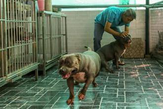 Ông Nguyễn Thường Quân (45 tuổi, quận Phú Nhuận, TP HCM) đang nuôi ba con chó Bully, loài chó có nguồn gốc từ Mỹ.
