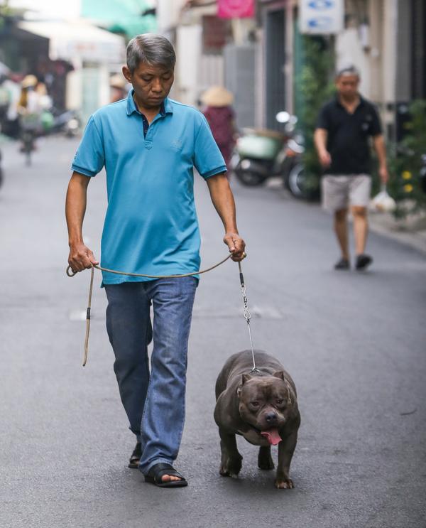 Đặc tính loài chó Bully vốn năng động, thích chạy nhảy ở nơi rộng rãi nên mỗi ngày ông Quân đều dành thời gian dắt cún cưng đi dạo.