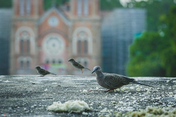 Những con chim nhỏ ở Nhà thờ Đức Bà (quận 1), một trong những hình ảnh thân thuộc, bình dị ở hòn ngọc Viễn Đông thời hiện đại.