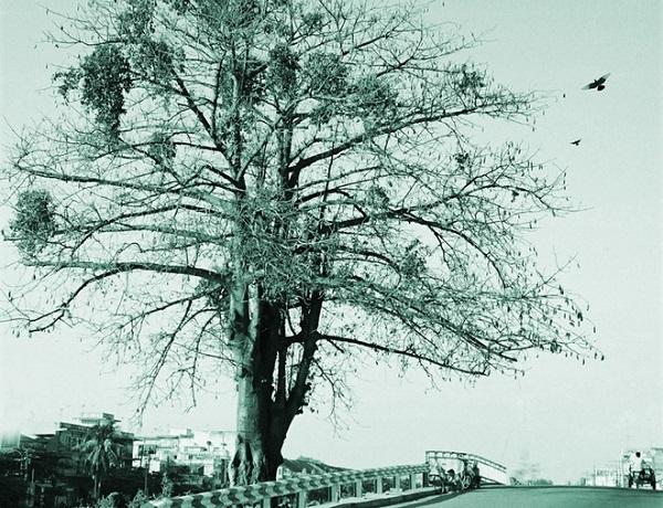 """Một """"Cụ Gòn"""" đại lão. Cây đứng như một ông cụ áo mão đôi trăm năm, bên cạnh Rạch Tàu Hủ. Nay cây không còn nữa vì khu vực bến Hàm Tử nay được sửa thành ra đại lộ. Ảnh Tam Thái chụp năm 1995."""