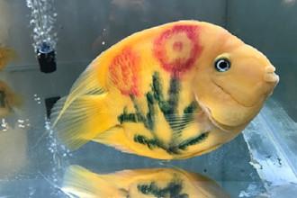 Cá két được xăm hình bông hoa, trưng bày tại Ngày hội cá cảnh TP HCM - Ảnh: Hoàng Anh.
