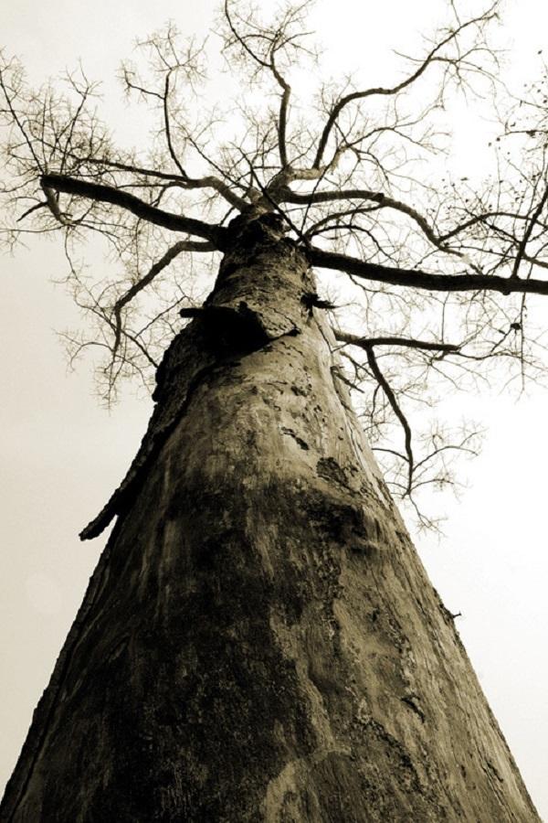 Đại thụ sau chùa Hanh Phú ở quận 12. Vào năm 2012, cây đã không còn nữa. Lý do cây bị đốn hạ là để mở đường dự án ven sông. Ảnh Tam Thái chụp năm 2000.