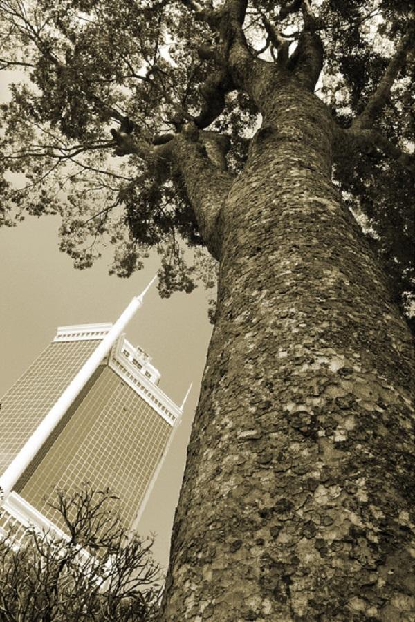 Một trong số 100 cây xà cừ cổ thụ ở đường Tôn Đức Thắng. Chưa rõ số phận của các cây xà cừ này ra sao khi khu vực này sẽ được xây dựng cầu Thủ Thiêm 2 và tàu điện ngầm Metro. Ảnh Tam Thái chụp năm 2013.