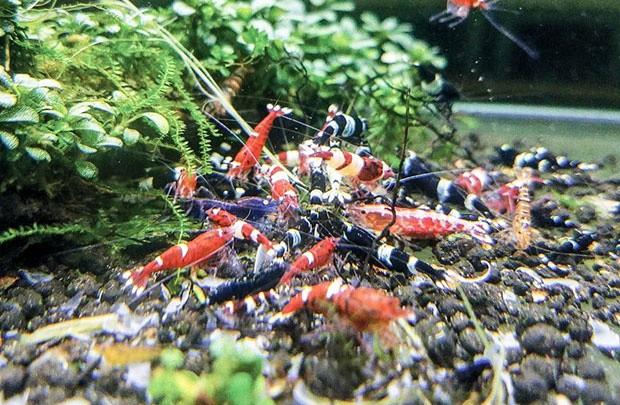 Anh Hoàng Tiến - chủ cửa hàng tép kiểng Saigon Shrimps (quận 3, TP.HCM) cho biết như thế.